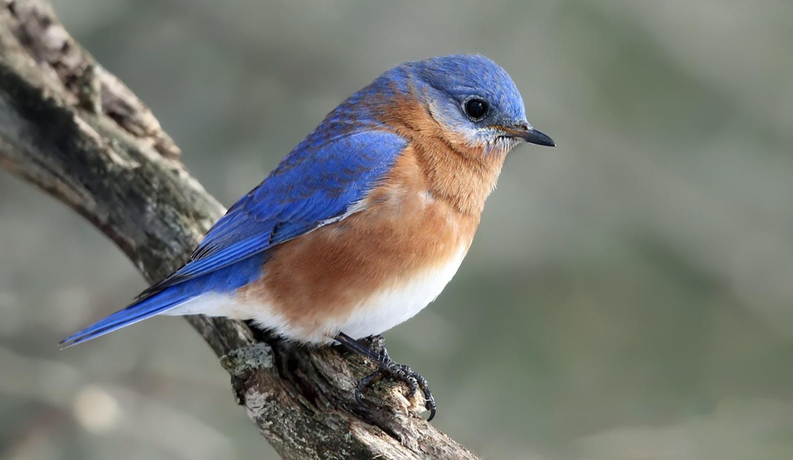 Eastern Bluebird.