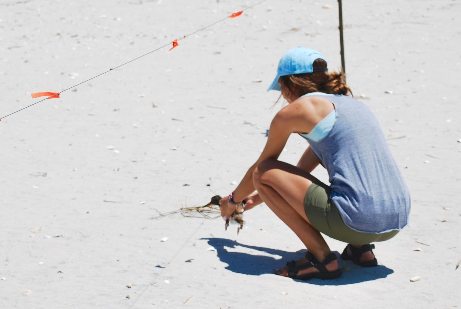 American Oystercatcher Banding