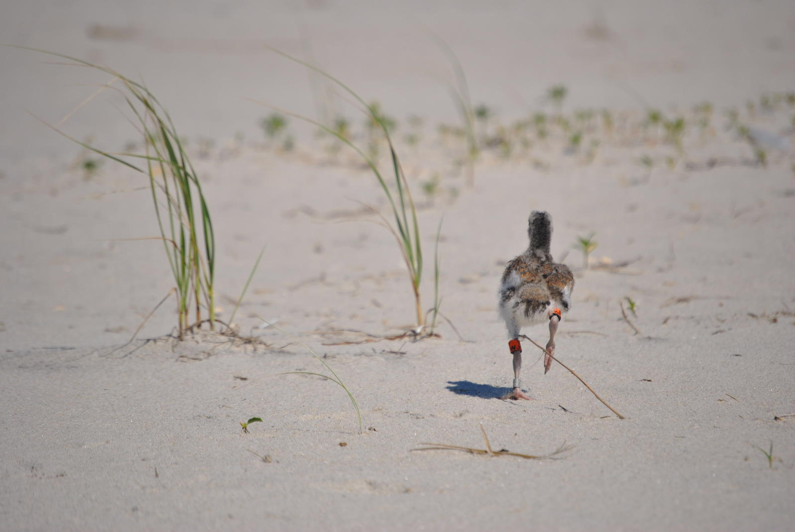 American Oystercatcher, banded juvenile.