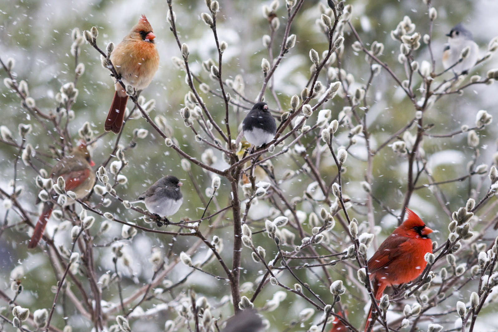 Northern Cardinal and Dark-eyed Junco.