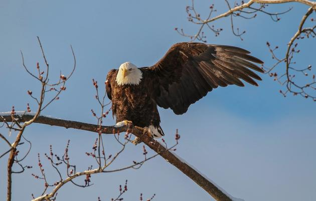 Where to See Bald Eagles in New York