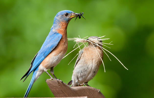 All About Bluebirds with John Rogers