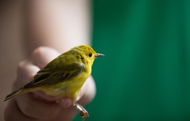 Bird Banding with Dr. John Van Niel