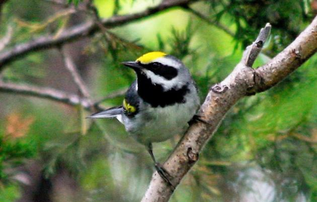 Healthy Forests: Spotlight on Golden-winged Warbler