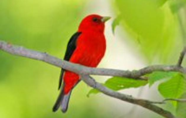 Managing Habitat for Forest Birds