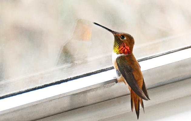 Be a Community Scientist and Help Us Protect the Hummingbirds!