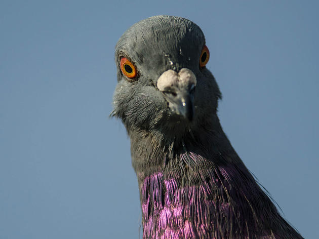 Pigeon Watch: Get to Know (and Love) Our Amazing City Birds