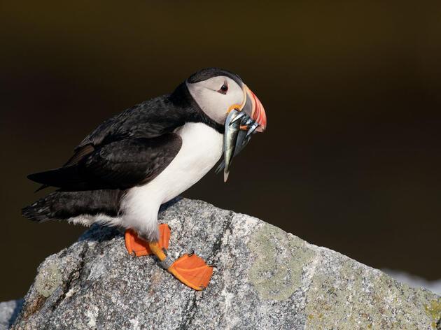New Legislation Aims to Protect Tiny Fish Vital to Seabirds