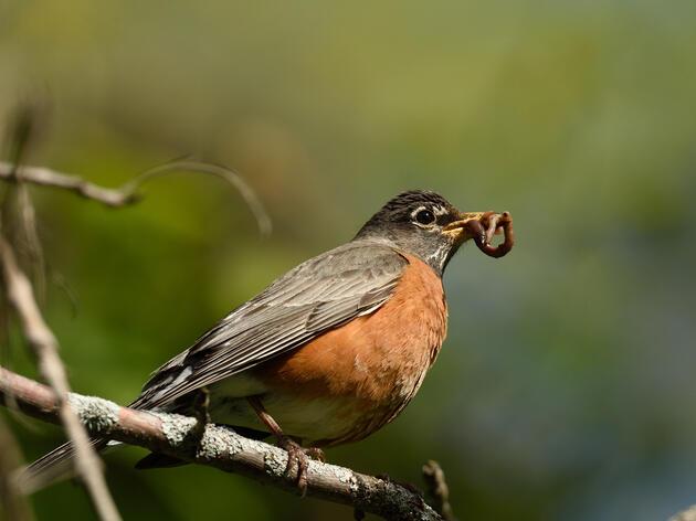 Updates on songbird illness