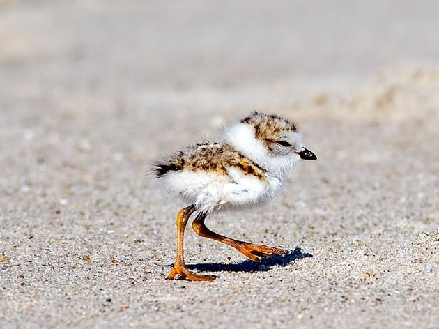 Hempstead Town's efforts to protect piping plovers pay off, officials say