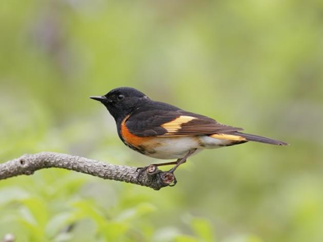 Climate change has New York songbirds lagging spring's quickening arrival