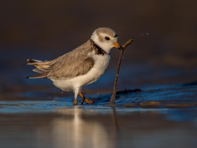 10 Times Plovers Made My Day