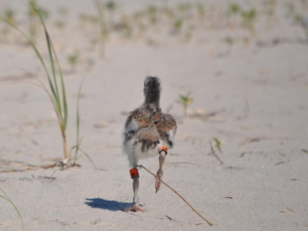 How to Report Banded Shorebirds