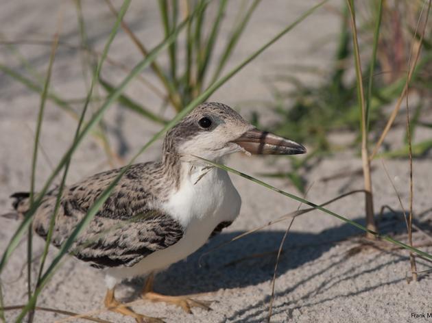 Long Island Bird Banding Operation to Enhance Shorebird Conservation