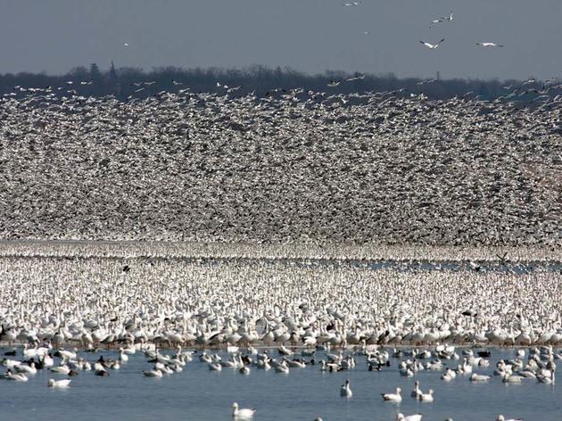 Migrating waterfowl crowd Montezuma Refuge during spring migration