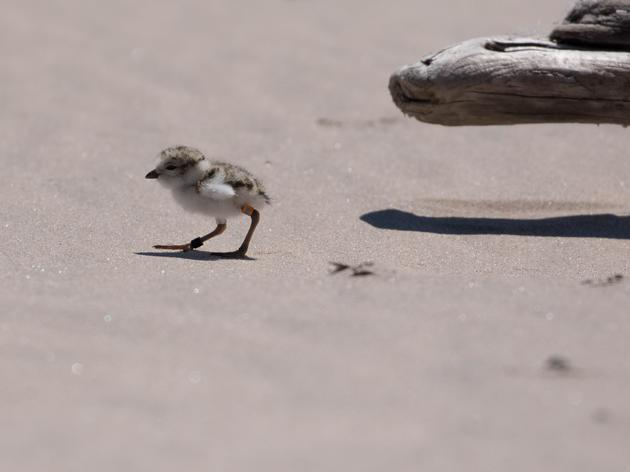 State Parks Announces Endangered Great Lakes Piping Plover has 100% Success on Eastern Shores of Lake Ontario for First Time in 30 years