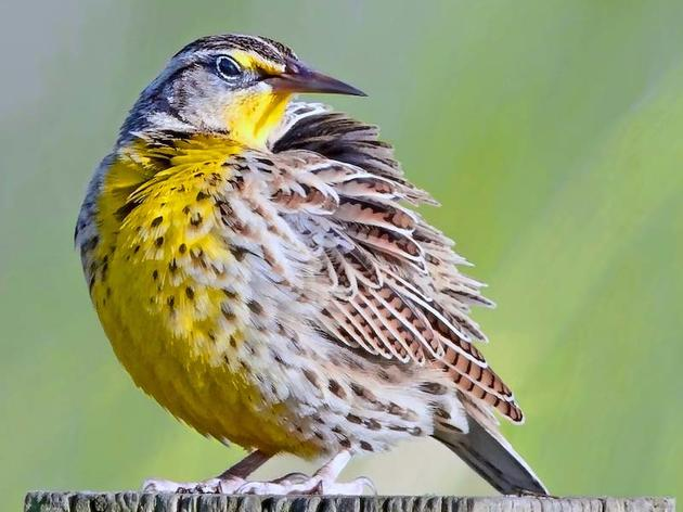 Defend America's Most Important Bird Law