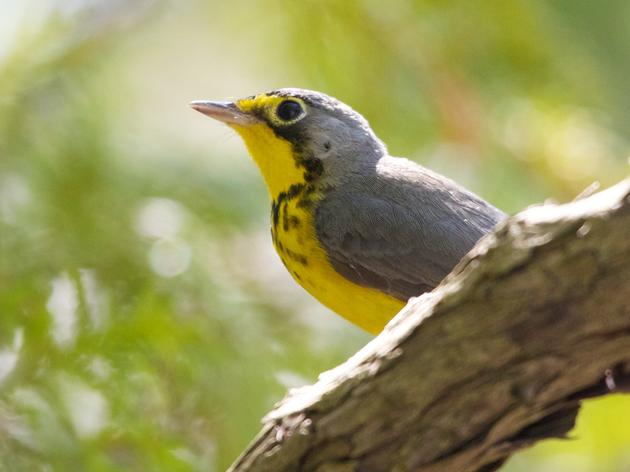 Forest Management for New York Birds