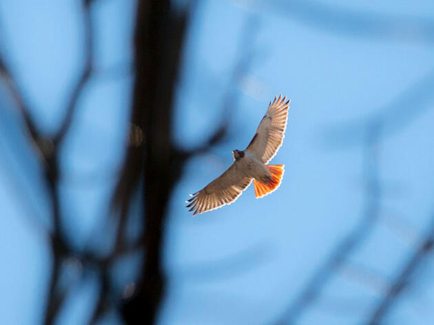 Look Up! An Introduction to Identifying Raptors in Flight