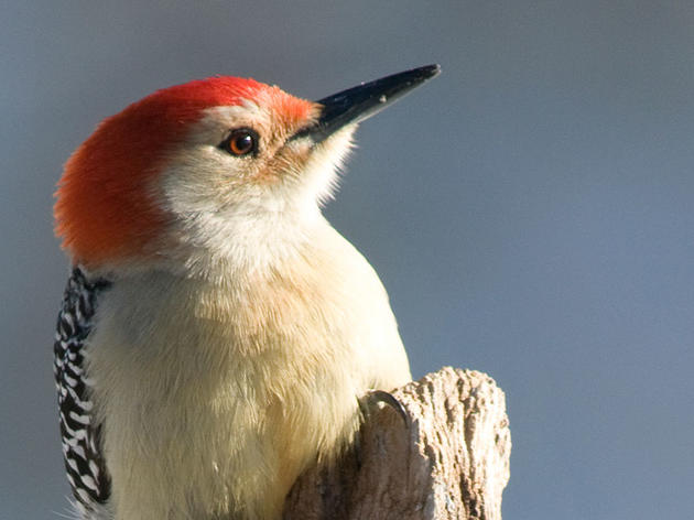 The Story Behind The Red-bellied Woodpecker's Name
