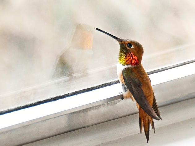 Be a Citizen Scientist and Help Us Protect the Hummingbirds!