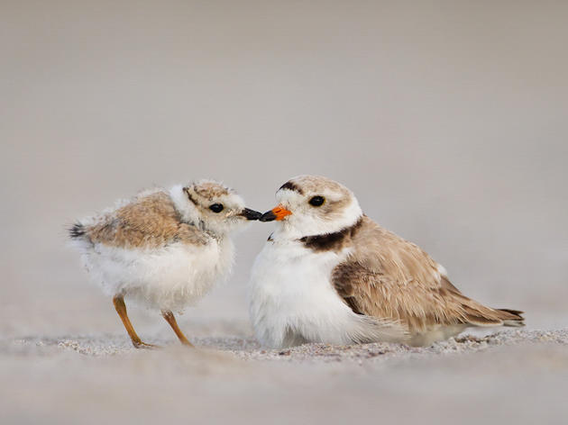 Endangered Shorebird Nests in NY; 1st Time in Over 30 Years