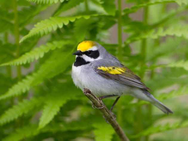 Audubon New York Takes Action to Save One of NY's Most Beautiful Songbirds