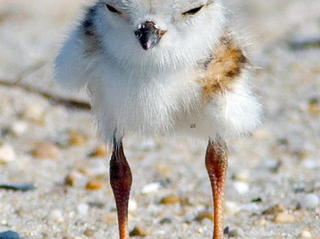 No Shore Thing: Why There's Concern For Piping Plovers