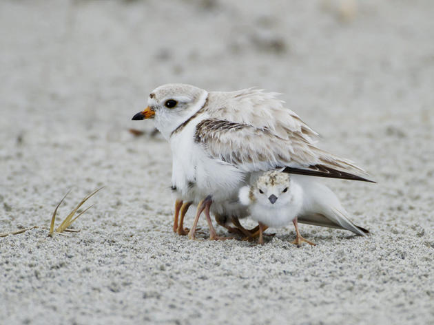 Success story: Rare, endangered piping plovers nest on eastern Lake Ontario