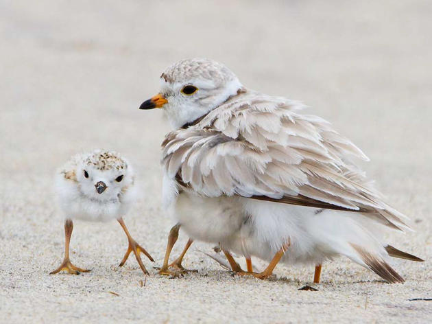 Michigan's endangered piping plovers have banner year