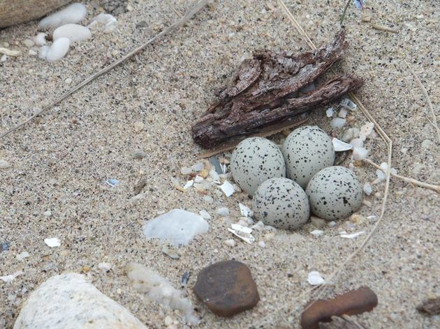 10 Ways to Help Beach-Nesting Birds