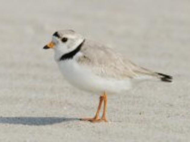 Researchers hope for continued presence of piping plover on Lake Ontario after historic return