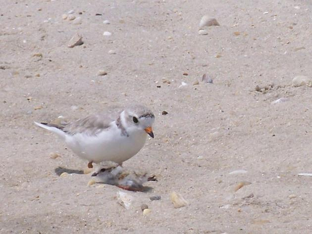 Endangered Piping Plover Birds Return To Lake Ontario For First Time In 30 Years