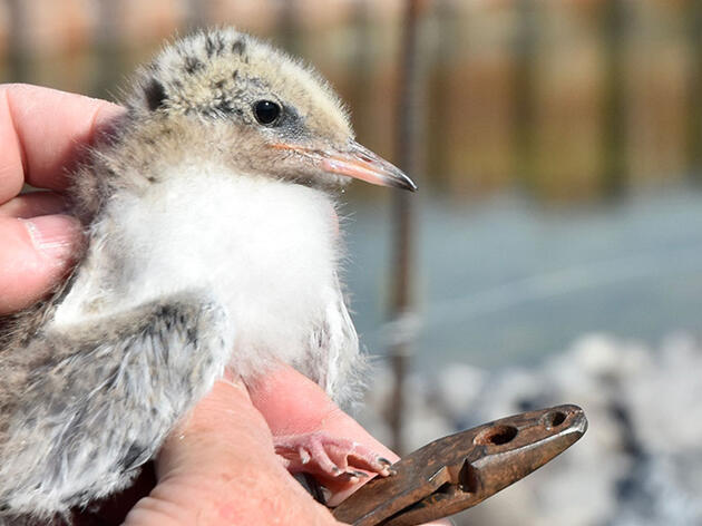 Nesting Common Terns Get a New Island Home in Buffalo