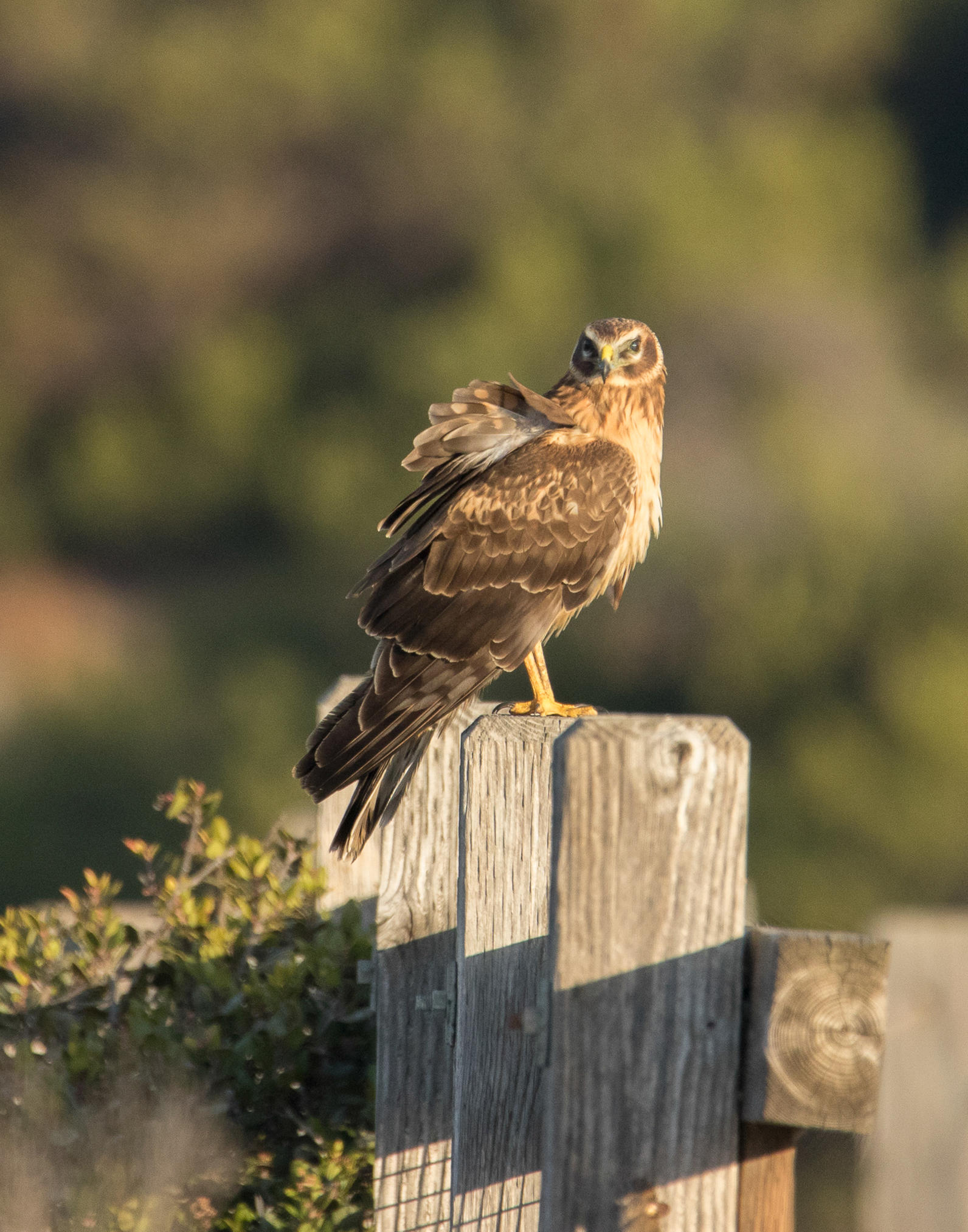 Northern Harrier. Photo: Pam Polcyn/Audubon Photography Awards