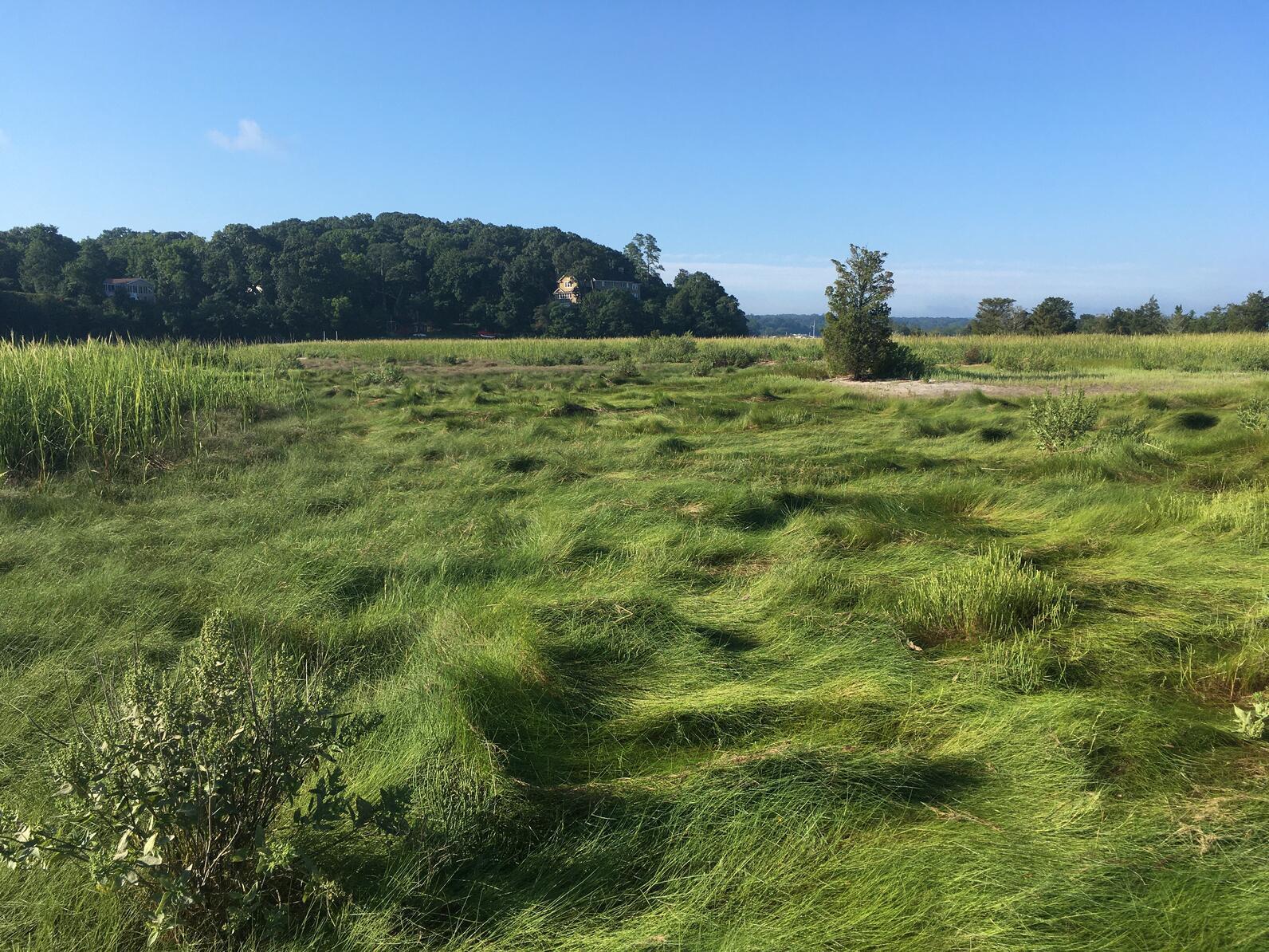 High marsh habitat in Stony Brook Harbor, NY.