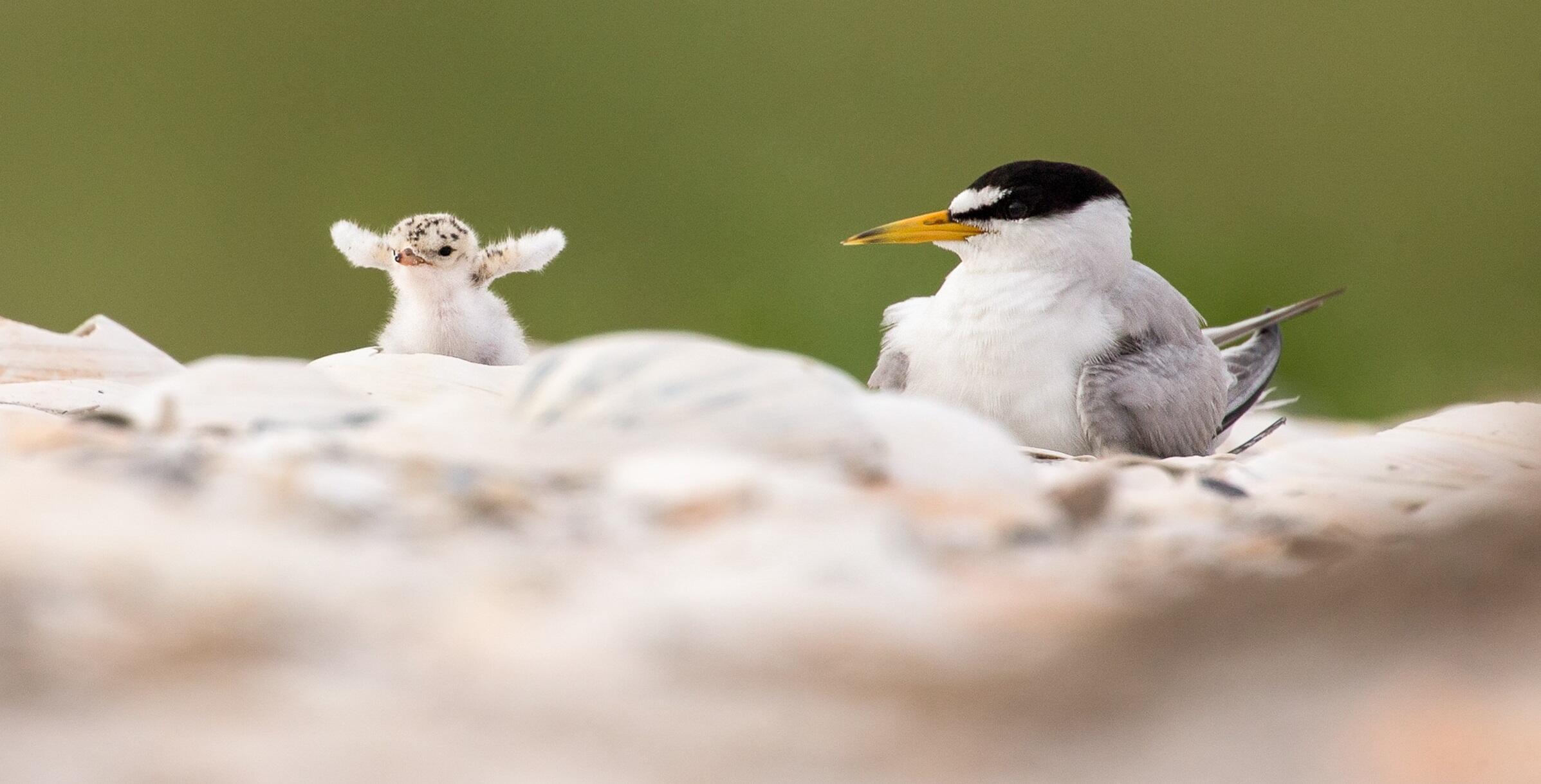 Least Tern. Photo: Melissa Groo/Audubon Photography Awards