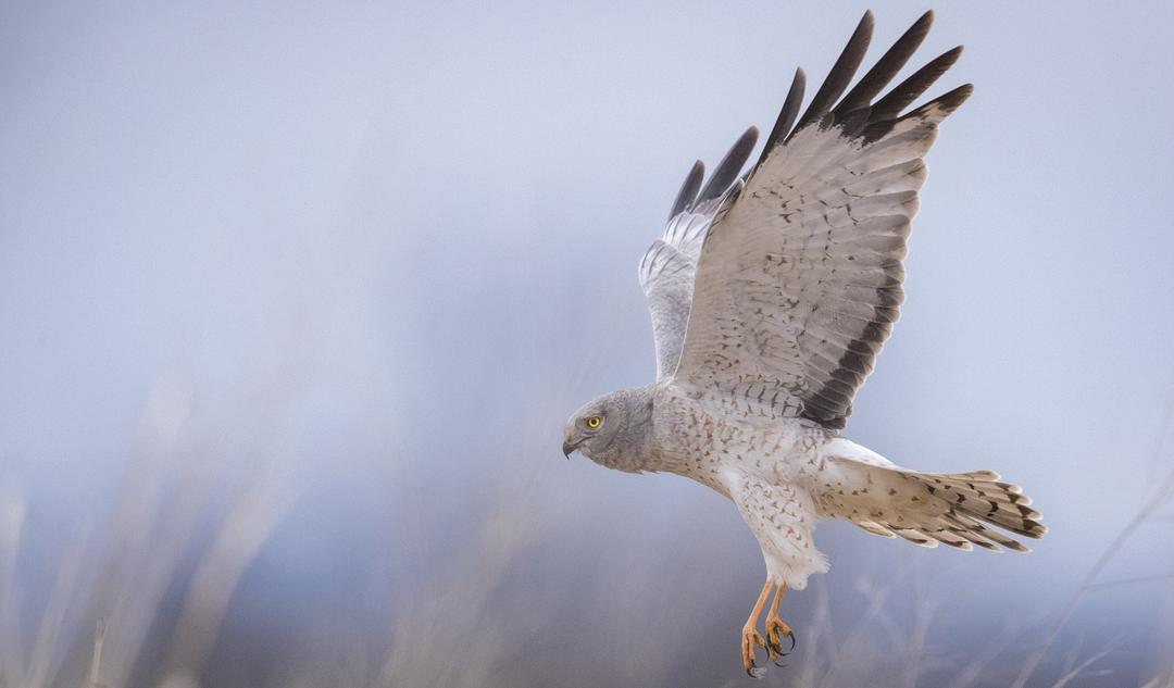 Look Up Hawkwatch Is Here In New York Audubon New York