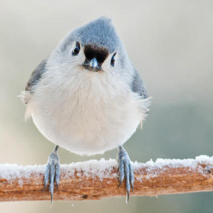 Welcome winter birds to your yard audubon new york tufted titmouse photo catherine mcentee sciox Images