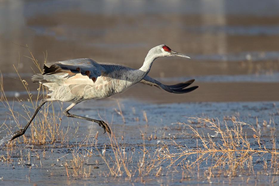 MONTEZUMA SPOTLIGHT: Cranes still prevalent at wetlands as mild December continues (podcast)